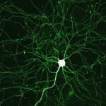 あなたの頭の中に居るモノマネ細胞とは?